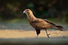 Южный Caracara, идя в траву, Pantanal, Бразилия Портрет plancus Caracara хищных птиц Caracara в veg зеленой травы Стоковые Фотографии RF