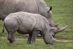 Южный Ceratotherium Simum белого носорога стоковая фотография