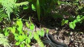 Южный constrictor рода змей семейства ужеобразных черного гонщика сток-видео