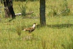 Южный crested caracara на поле травы стоковое фото rf