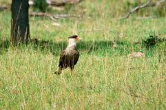 Южный crested caracara на поле травы стоковые изображения rf