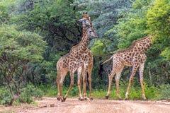 Южный giraffa Giraffa жирафа Стоковая Фотография