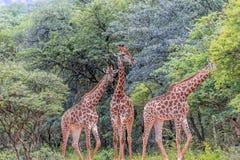 Южный giraffa Giraffa жирафа Стоковые Изображения