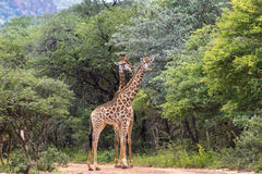 Южный giraffa Giraffa жирафа Стоковое фото RF