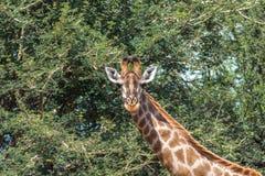 Южный giraffa Giraffa жирафа Стоковая Фотография RF