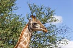 Южный giraffa Giraffa жирафа Стоковые Фото