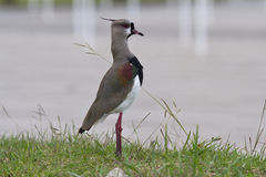 Южный Lapwing которые стоят на зеленой лужайке в представлении anxiet Стоковые Фотографии RF