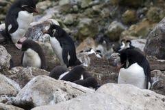 Южный rookery пингвина Rockhopper стоковая фотография rf