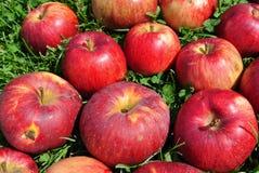 дюйм травы Крыма яблок августовский много один s малая Украина Стоковые Фото