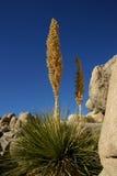 Юкка на камне трясет в пустыне Аризоны, США Стоковое Фото