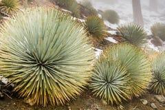 Юкка чапареля (whipplei Hesperoyucca) растя на наклонах Mt Сан Антонио, идет снег на том основании; Los Angeles County, стоковые фото