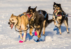 Юкона поисков собаки 2016 скелетона Стоковое Изображение RF