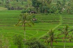 ЮНЕСКО всемирного наследия полей и ладоней риса Стоковая Фотография RF