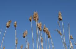 Юркните сухие тростники Чащи сухого стоковая фотография