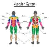 людская мышечная система Стоковая Фотография