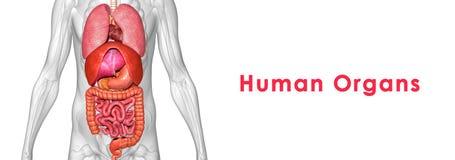 людские органы Стоковые Изображения RF