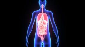 людские органы иллюстрация штока