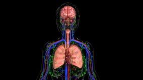 людские органы стоковая фотография rf