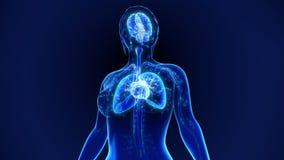 людские органы стоковое изображение