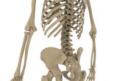 людской скелет Стоковые Изображения