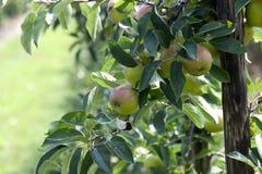 яблоки больше Стоковые Фото