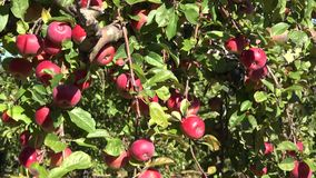 Яблоки ветробоя лежат на земле и красный цвет ветвей дерева зрелый приносить Наклон вниз 4K сток-видео