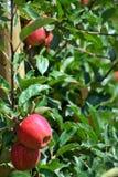 яблоки вися вал Стоковая Фотография RF