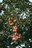 Яблоки вися на дереве стоковое изображение rf