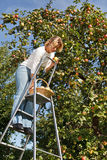 яблоки выбирая женщину Стоковое Изображение RF