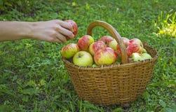 Яблоки выбранные девушкой в корзине стоковое изображение rf
