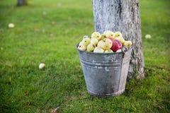 Яблоки в ведре Стоковое Фото