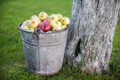 Яблоки в ведре Стоковая Фотография
