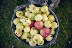 Яблоки в ведре Стоковое фото RF