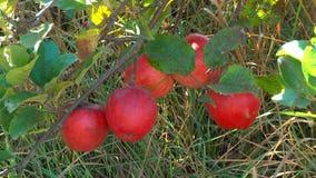 Яблоки в саде сток-видео