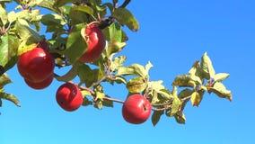 Яблоки в саде видеоматериал