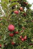 Яблоки зрелые для сбора на ветвях стоковое изображение
