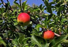 Яблоки зреют в саде Стоковая Фотография RF