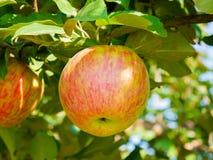 Яблоки зрея в саде, Квебеке, Канаде Стоковое Изображение