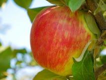 Яблоки зрея в саде, Квебеке, Канаде Стоковая Фотография RF