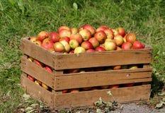 яблоки кладут деревянное в коробку Стоковое Фото