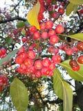 Яблоки краба стоковое фото rf