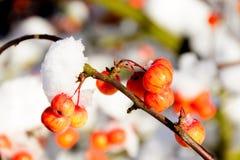 Яблоки краба Snowy стоковая фотография
