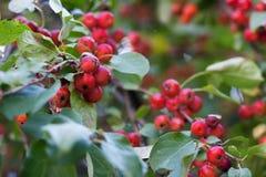 Яблоки красного карлика на ветви Стоковая Фотография RF