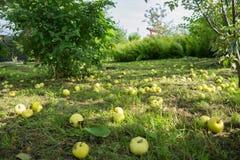 Яблоки лежат на зеленой траве, кроша от яблони Стоковое Фото