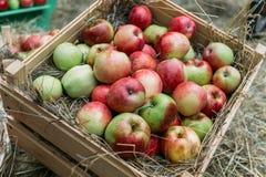 Яблоки лежа на сене в деревянных коробках Стоковое Изображение RF