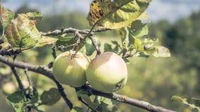 Яблоки на ветви дерева в лете садовничают, около Зрелые яблоки вися на ветви в саде стоковое фото