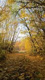 Яблоки на ветви с желтыми листьями стоковые изображения rf