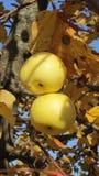 Яблоки на ветви с желтыми листьями стоковое изображение