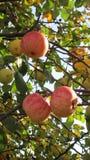 Яблоки на ветви с желтыми листьями стоковая фотография rf