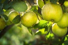 Яблоки на ветви яблони Стоковые Изображения